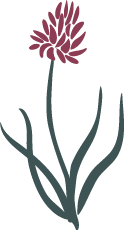 KohlroeserlPlanze